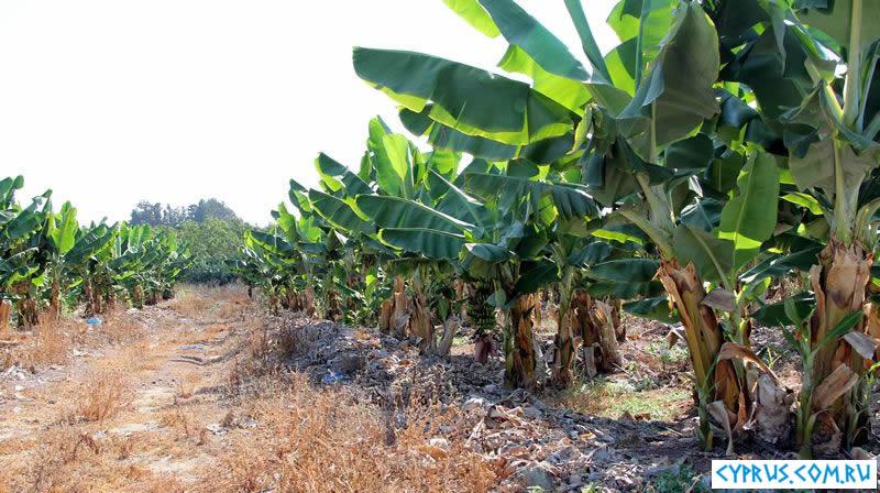 Как растут бананы на Кипре
